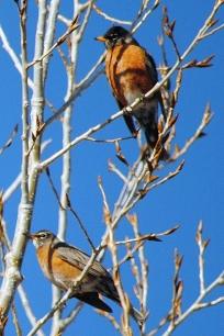 1 Robin